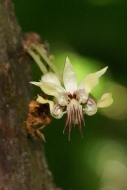 Bloeiwijze Cacao